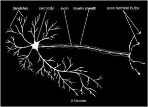 a-neuron